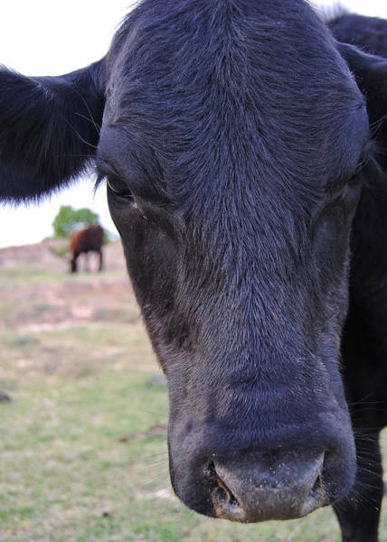 Photograph - Portrait Of A Cow by Nathan Little