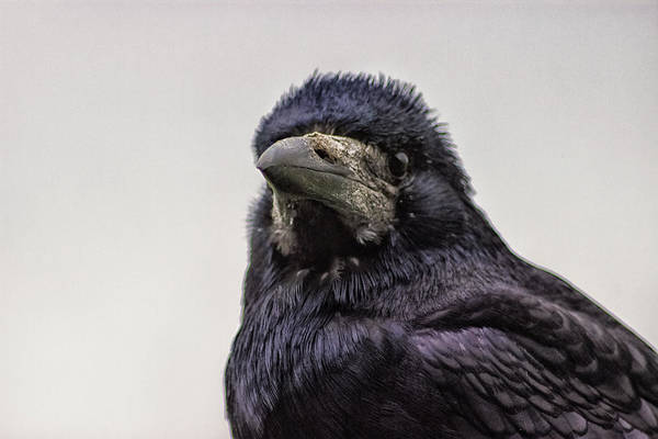 Rook Photograph - Portrait Of A Crow by Martin Newman