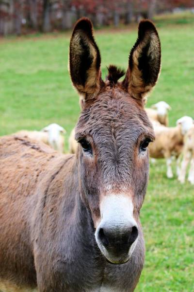 Photograph - Portrait Of A Donkey by Carol Montoya
