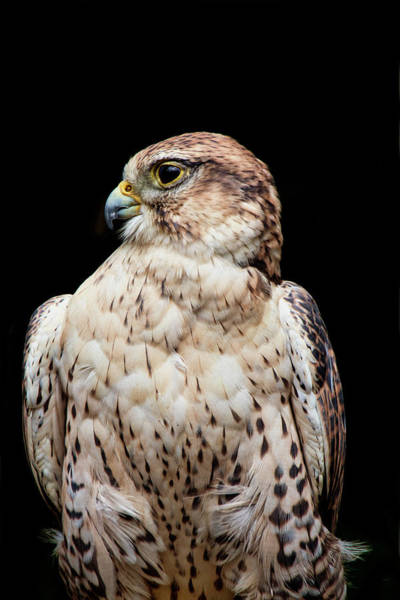 Photograph - Portrait Of A Ferruginous Hawk  by Peggy Collins
