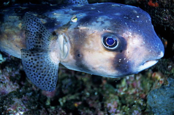 Diodon Photograph - Portrait Of A Freckled Porcupinefish by Sami Sarkis