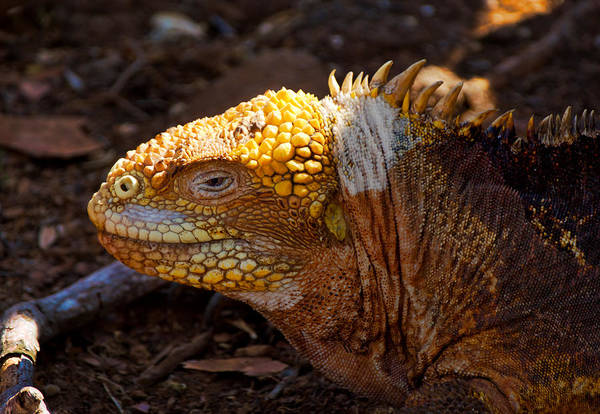 North Seymour Island Photograph - Portrait Of A Galapagos Land Iguana by Jane Selverstone