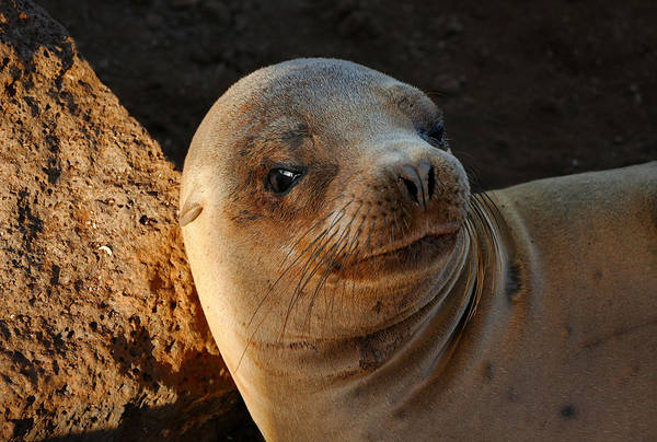 North Seymour Island Photograph - Portrait Of A Galapagos Sea Lion by Jane Selverstone