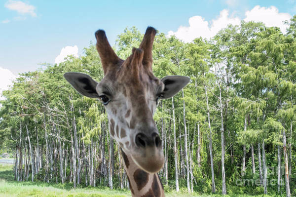 Photograph - Portrait Of A Giraffe by Judy Hall-Folde