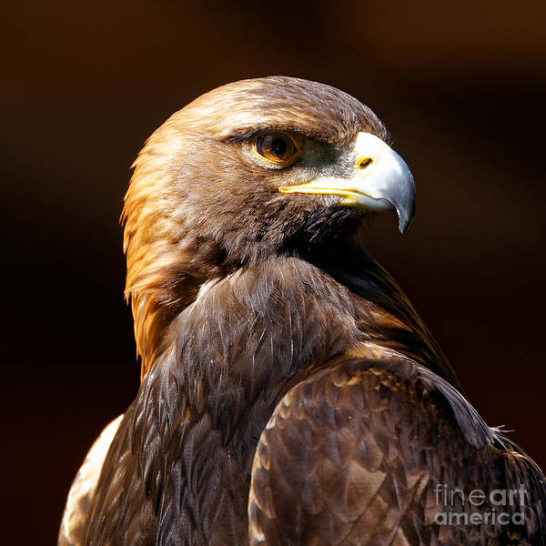 Photograph - Portrait Of A Golden Eagle by Sue Harper