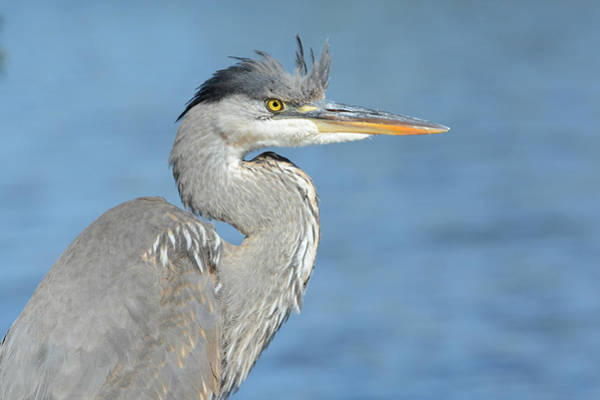 Photograph - Portrait Of A Great Blue Heron by Fraida Gutovich