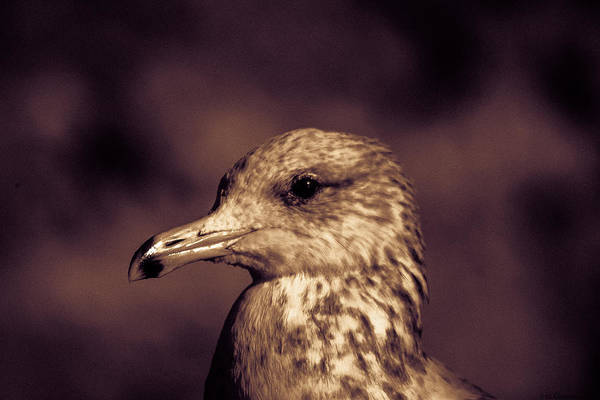 Portrait Of A Gull Art Print