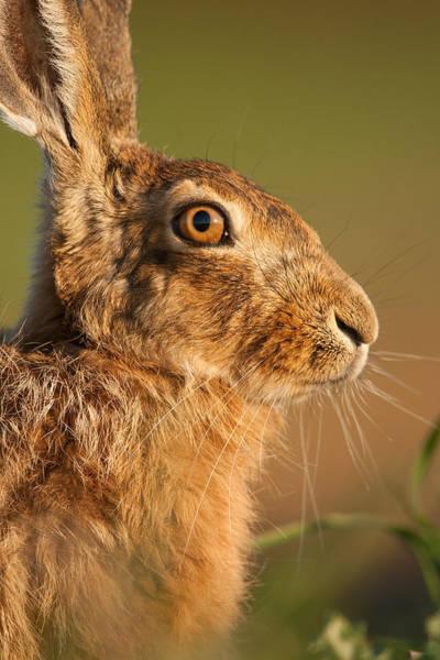Photograph - Portrait Of A Hare by Simon Litten