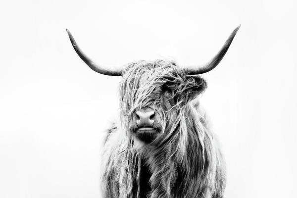 Steer Photograph - Portrait Of A Highland Cow by Dorit Fuhg
