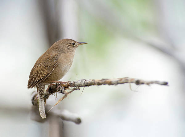 Photograph - Portrait Of A House Wren by Judi Dressler
