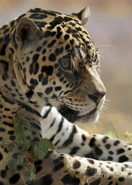 Photograph - Portrait Of A Jaguar by Sabrina L Ryan