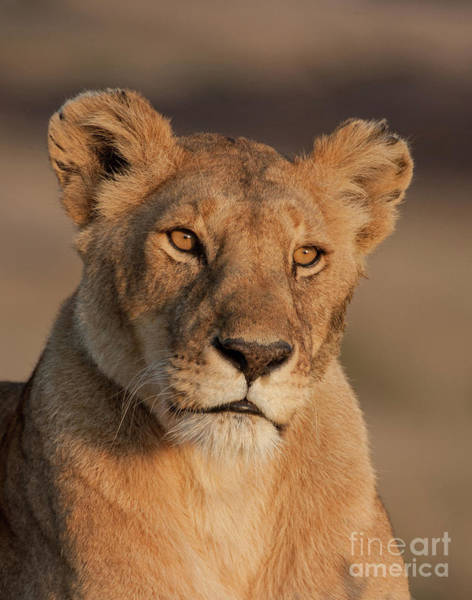 Photograph - Portrait Of A Lioness by Chris Scroggins
