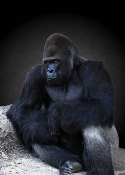 Photograph - Portrait Of A Male Gorilla by Debi Dalio