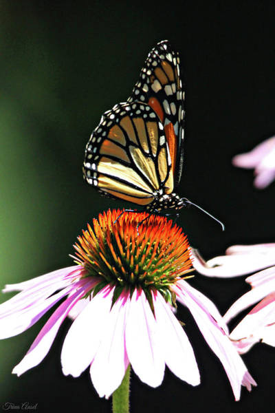 Photograph - Portrait Of A Monarch by Trina Ansel