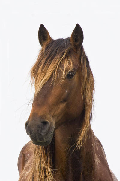 Portrait Of A Mustang Art Print