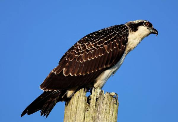 Photograph - Portrait Of A Osprey by Carol Montoya