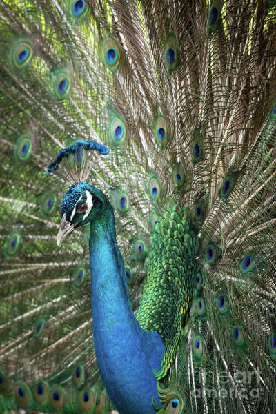 Photograph - Portrait Of A Peacock by Sabrina L Ryan