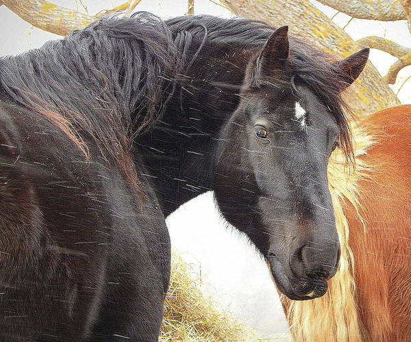 Wall Art - Photograph - Portrait Of A Percheron by Karen Cook