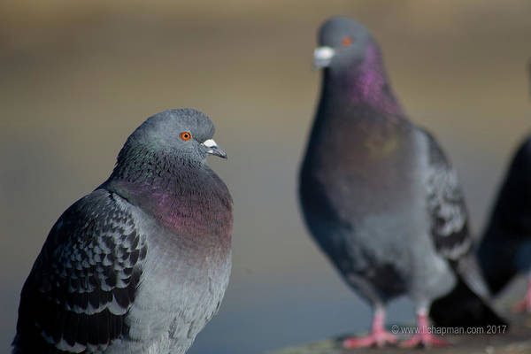 Photograph - Portrait Of A Pigeon by Lora Lee Chapman