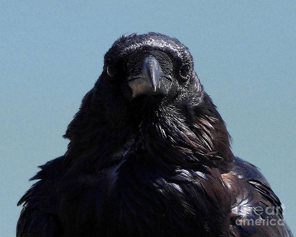 Photograph - Portrait Of A Raven by Wingsdomain Art and Photography