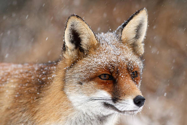 Flake Photograph - Portrait Of A Red Fox In A Snow Storm by Roeselien Raimond