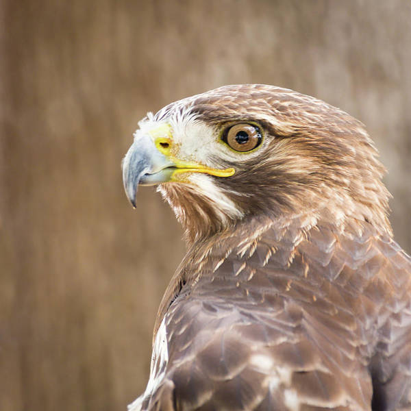 Photograph - Portrait Of A Red-tailed Hawk by Dawn Currie
