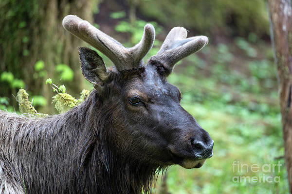 Roosevelt National Forest Photograph - Portrait Of A Roosevelt Elk In The Hoh Rainforest by Brandon Alms