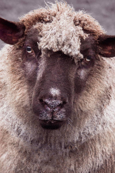 Wall Art - Photograph - Portrait Of A Sheep by Mihaela Pater