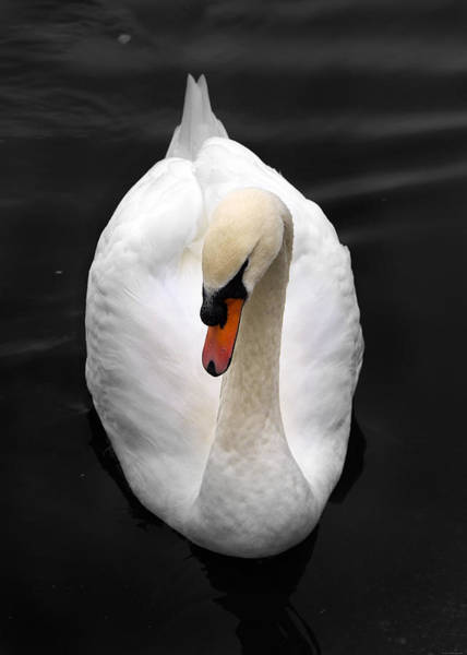Wall Art - Photograph - Portrait Of A Swan by Julius Reque