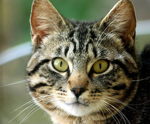 Photograph - Portrait Of A Tabby Cat by Sheila Brown