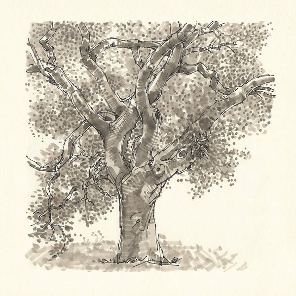 Drawing - Oak by Judith Kunzle