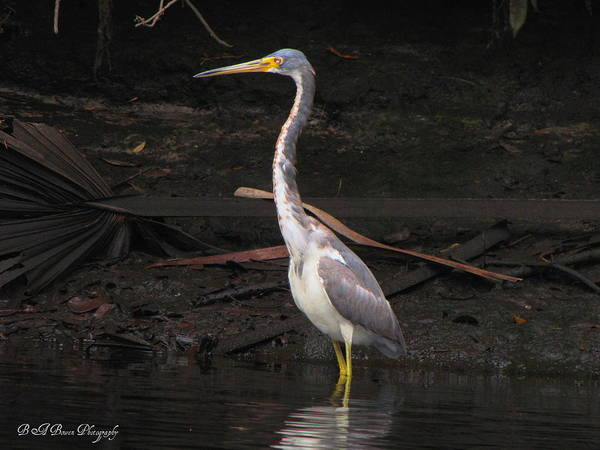 Photograph - Portrait Of A Tri-colored Heron by Barbara Bowen