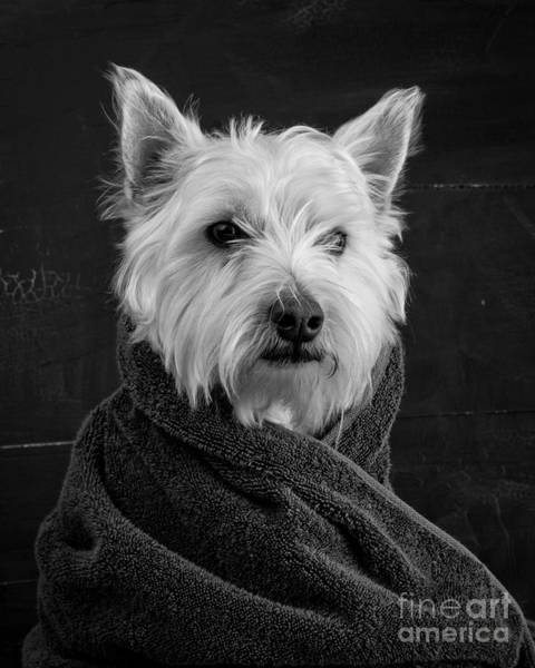 Westie Photograph - Portrait Of A Westie Dog 8x10 Ratio by Edward Fielding