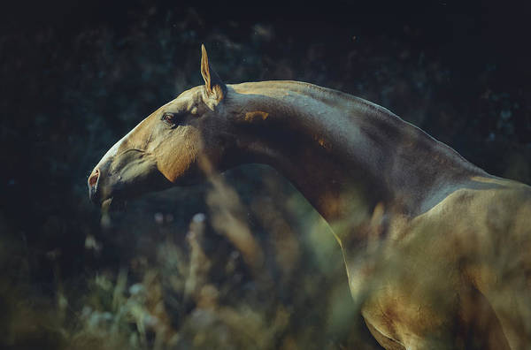 Photograph - Portrait Of Akhalteke Horse by Ekaterina Druz