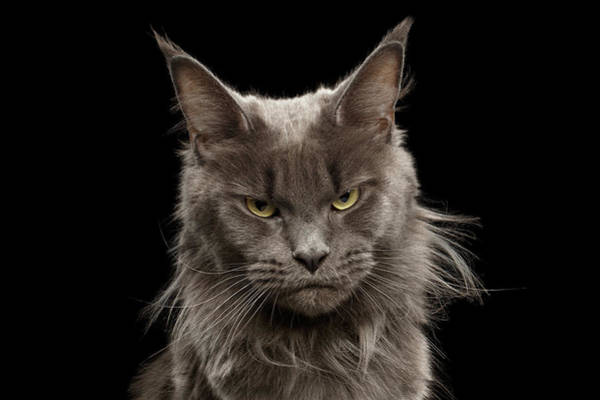 Photograph - Portrait Of Angry Maine Coon On Black by Sergey Taran