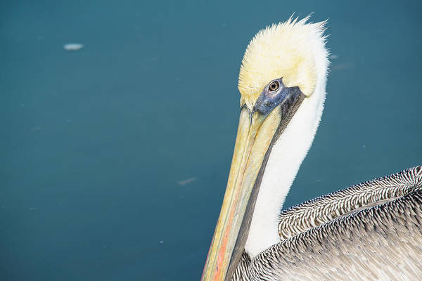 Wall Art - Photograph - A Portrait Of A Beautiful Brown Pelican  by Ellie Teramoto