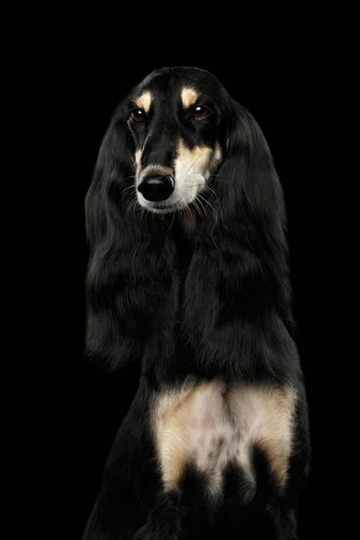 Photograph - Portrait Of Black Saluki by Sergey Taran
