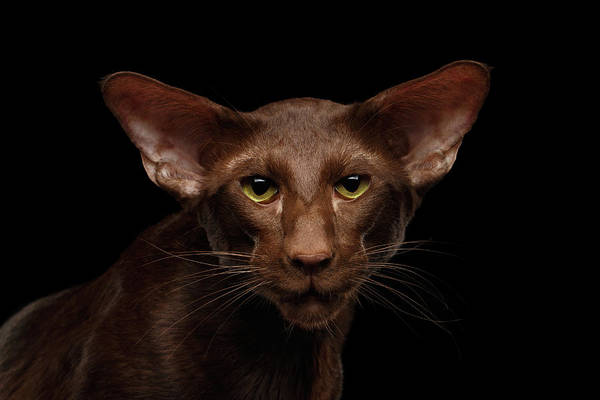 Wall Art - Photograph - Portrait Of Brown Oriental Cat On Isolated Black Background by Sergey Taran