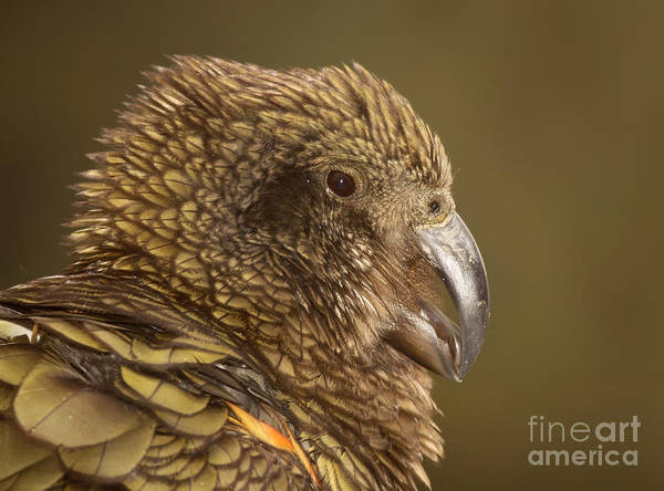 Wall Art - Photograph - Portrait Of Kea Calling by Max Allen