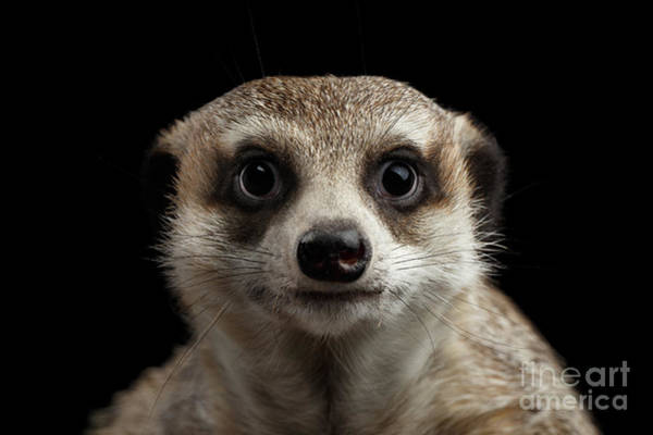 Wall Art - Photograph - Portrait Of Meerkat On Black Background by Sergey Taran