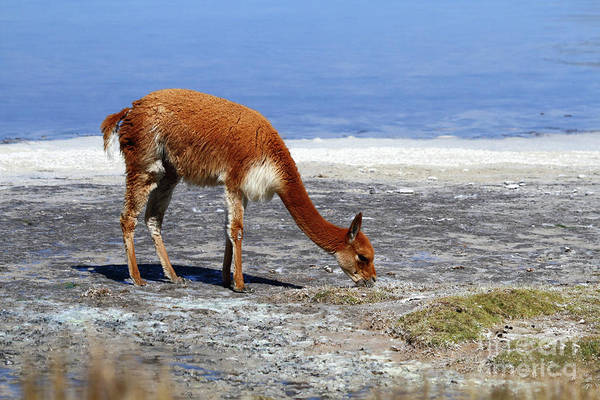 Photograph - Portrait Of Vicuna Grazing On Shore Of Salt Flat Chile by James Brunker