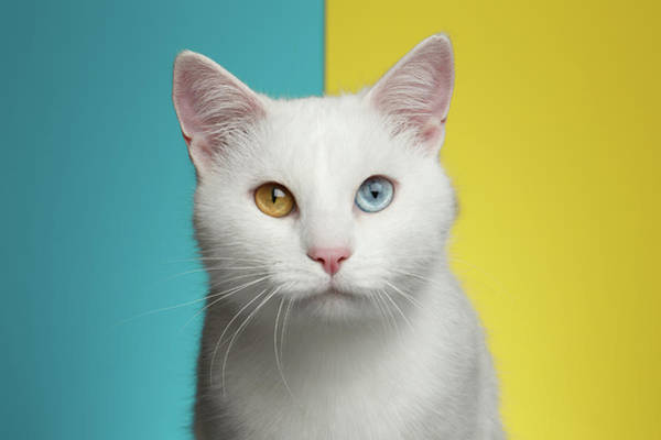 Wall Art - Photograph - Portrait Of White Cat On Blue And Yellow Background by Sergey Taran
