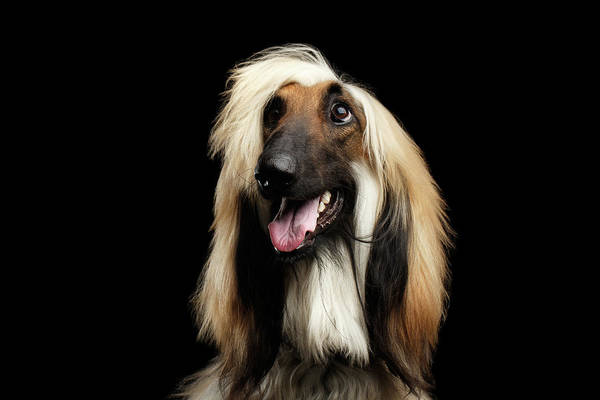 Wall Art - Photograph - Portraitof Afghan Hound On Black by Sergey Taran