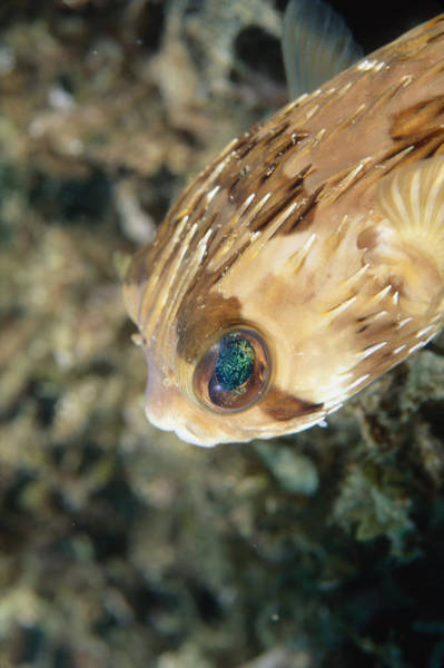 Balloonfish Photograph - Porupinefish Close-up Portrait, Diodon by James Forte