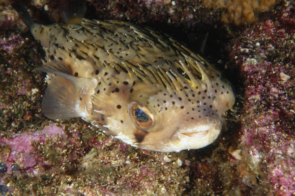Balloonfish Photograph - Porupinefish Close-up Portrait Sleeping by James Forte