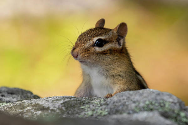Photograph - Posing Chipmunk by Betty Pauwels