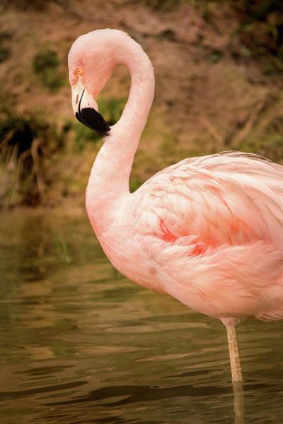 Photograph - Posing Flamingo by Don Johnson