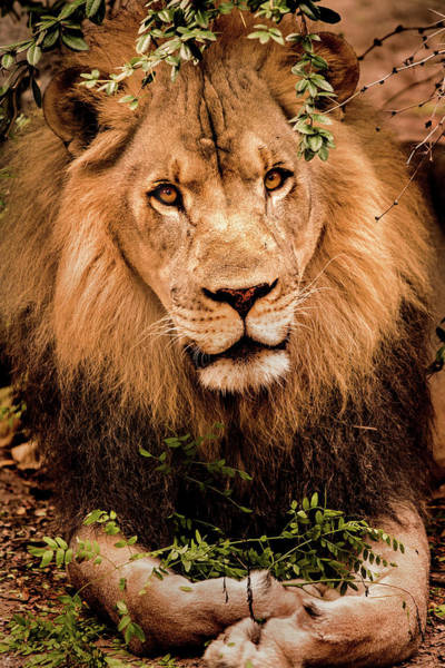 Photograph - Posing Male Lion by Don Johnson