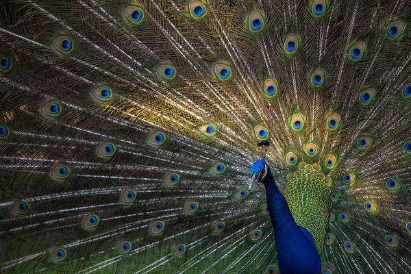Photograph - Posing Peacock by Jim Neal