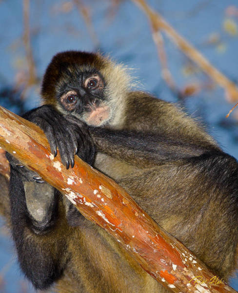 Photograph - Posing Spider Monkey by Rikk Flohr